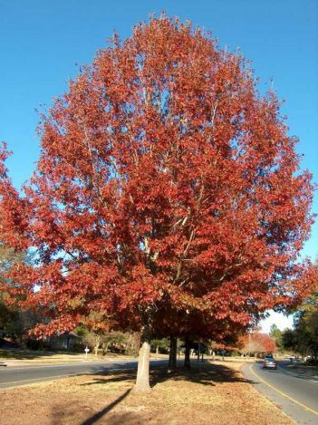 Heinen Landscape Oak Shumard