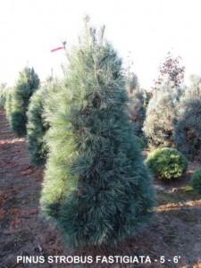 Heinen Landscape Pine, Columnar White