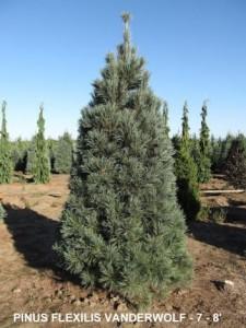 Heinen Landscape Pine, Vander Wolf's