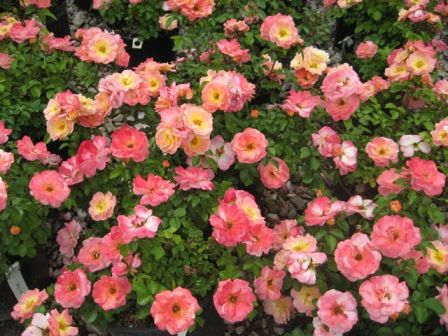 Heinen Landscape Rose Peach Drift