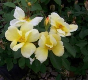 Heinen Landscape Rose sunny knockout