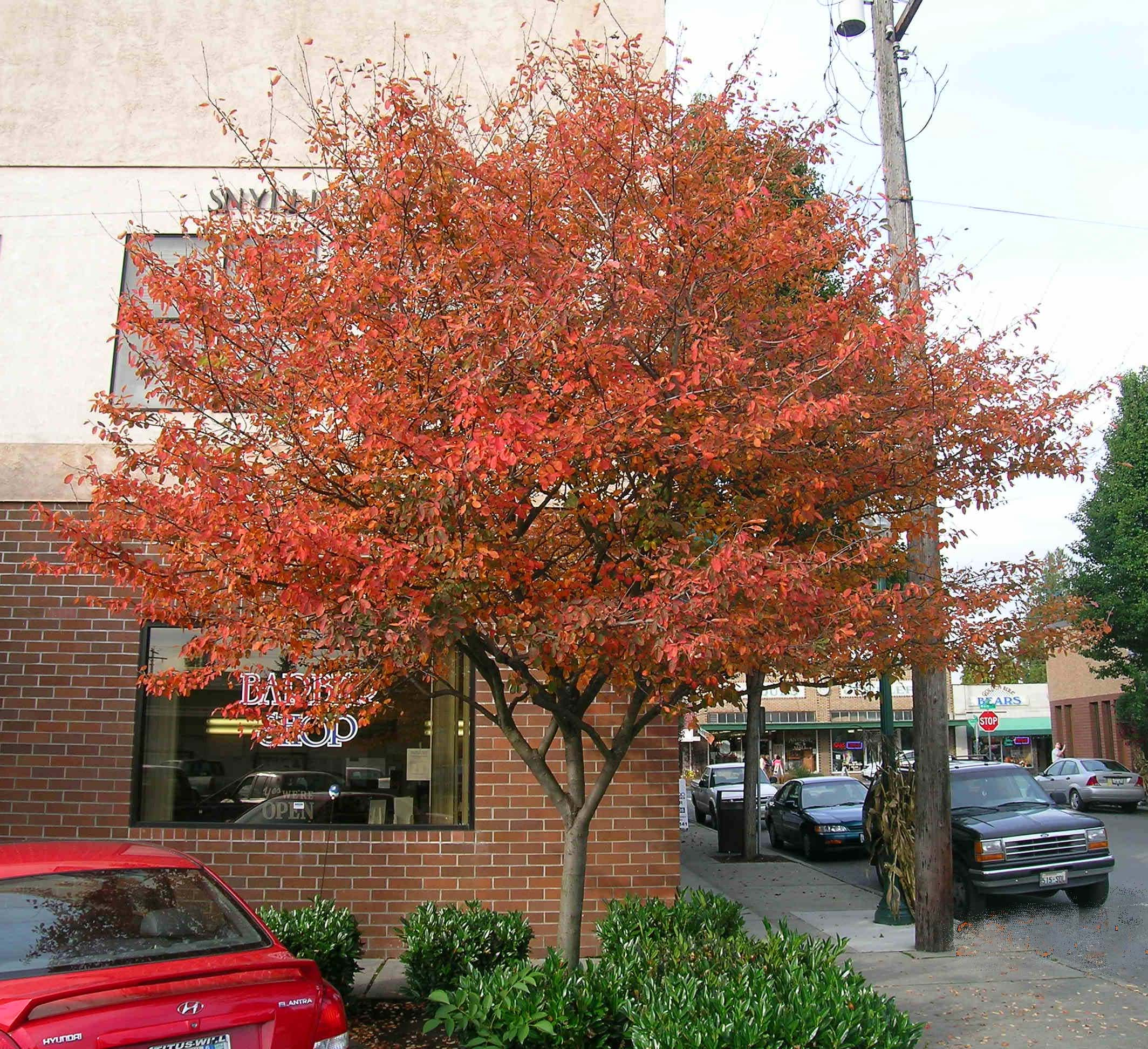Heinen Landscape Serviceberry 'Autumn Brilliance' fall color