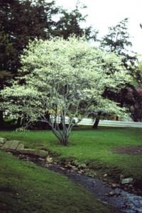 Heinen Landscape Serviceberry 'Shadblow'