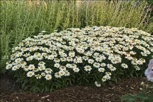 Heinen Landscape shasta daisy