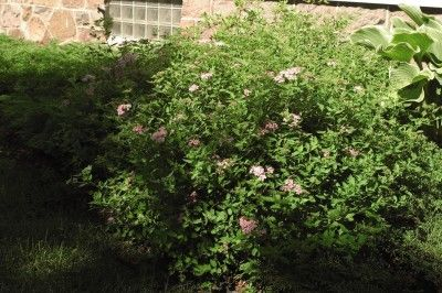 Heinen Landscape Spirea Little Princess