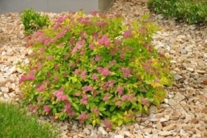 Heinen Landscape Spirea Magic Carpet