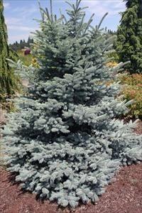 Heinen Landscape Spruce 'Baby Blue'