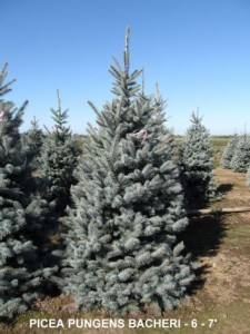 Heinen Landscape Spruce, Blue 'Bacheri'