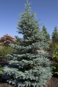 Heinen Landscape Spruce, Blue 'Fat Albert'