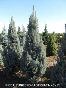 Heinen Landscape Spruce, Columnar Blue