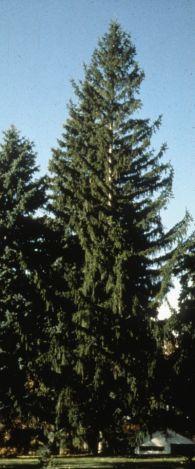 Heinen Landscape Spruce, Norway