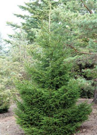 Heinen Landscape Spruce Oriental Green Knight