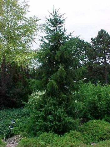 Heinen Landscape Spruce, Serbian