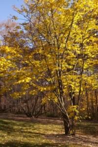 Heinen Landscape Yellowwod
